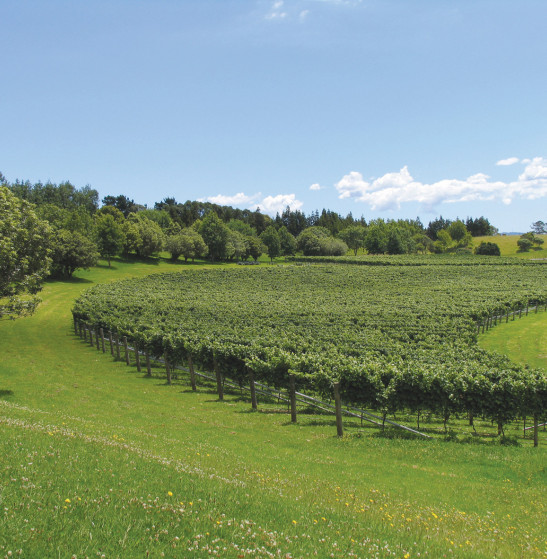 Auckland Vineyard 1